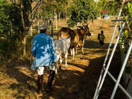 Cows at the Faa Sai farm