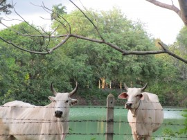 Cows by one of our ponds