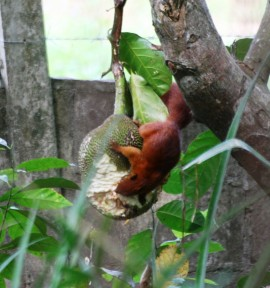 red squirrels feasting on jackfruit at the resort